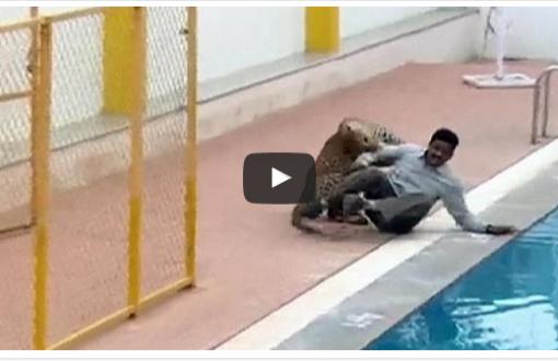 فيديو. نمر يهاجم عاملا داخل إحدى المدارس بالهند _