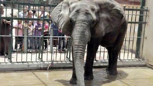 بالفيديو: فيل يقتل طفلة في حديقة الرباط بعد أن أصابها بحجر طائش
