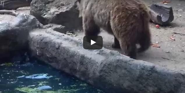 بالفيديو: دب لطيف ينقذ غرابا من الغرق