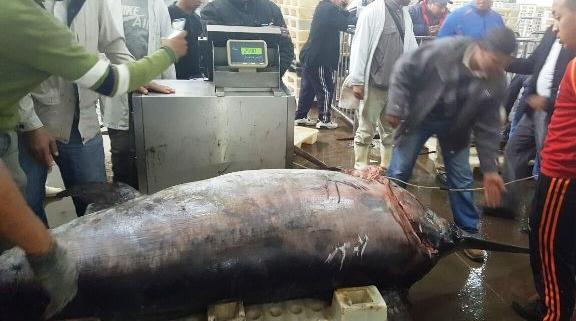 حجز أكثر من نصف طن من سمك أبو سيف بأكادير