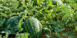 زراعة-البطيخ-الأحمر
