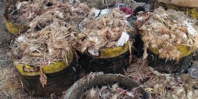 حجز كميات كبيرة من فضلات الدجاج موجهة لتعليف المواشي