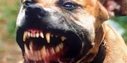 CRONACA-altro-pitbull-aggressivo-5819b4e499c693