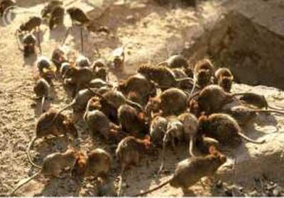 الكلاب الضالة والفئران الخلوية تغزو الأحياء الشعبية بأكادير