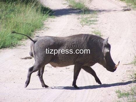 tiznit: من جديد.. الخنزير الوحشي يعتدي على مواطن بتافراوت تيزنيت