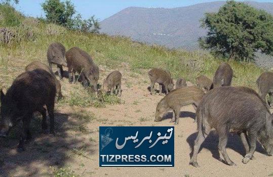 الخنازير الوحشية تزرع الرعب في المحاصيل الزراعية والممتلكات والإنسان بإقليمي تيزنيت وسيدي إفني