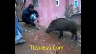 """tiznit: شاهد عملية تدجين"""" الخنزير البري"""" ببادية جهة سوس"""