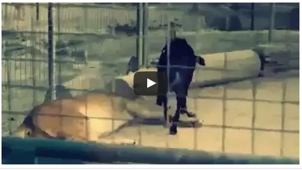 بالفيديو: كلب يرهب أسدين ويفرض سيطرته عليهما