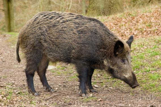 """بيان لتنسيقية ادرار سوس ماسة """"بخصوص تنزيل التوصيات الخاصة بإحاشة الخنزير البري بجهة سوس ماسة """""""