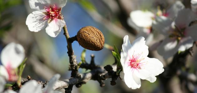 بويزكارن :شجرة اللوز تشكي جفاء الفلاح ، وقهر المناخ … كيف تحولت من واقع إلى دكريات؟