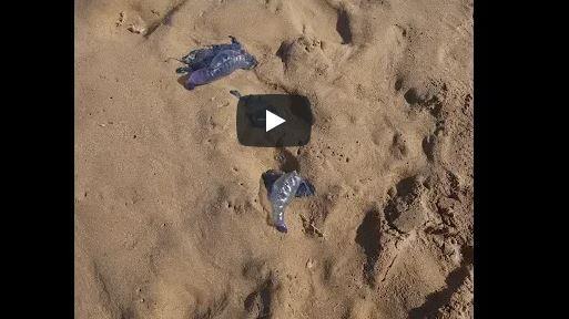 أكلو :قناديل البحر تغزو شاطئ سيدي موسى