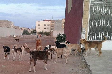 تيزنيت : حادثة سير خطيرة.. والسبب «الكلاب الضالة» !!