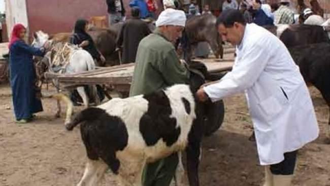 تلقيح قطيع البقر والأغنام ضد الحمى القلاعية بجهة سوس ماسة