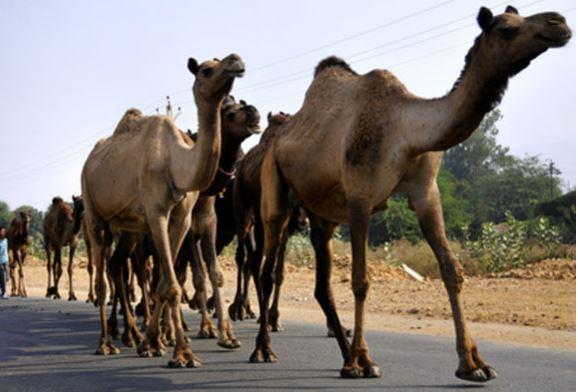 """مـــاسة : عشرات القطعان من الإبل تهاجم محاصيل مزارع دوار """" المرس سيدي أحمد """""""