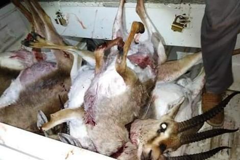 تيزنيت : ادانة رجل أعمال رفقة شخصين آخرين بالسجن و الغرامة بتهمة صيد الغزلان