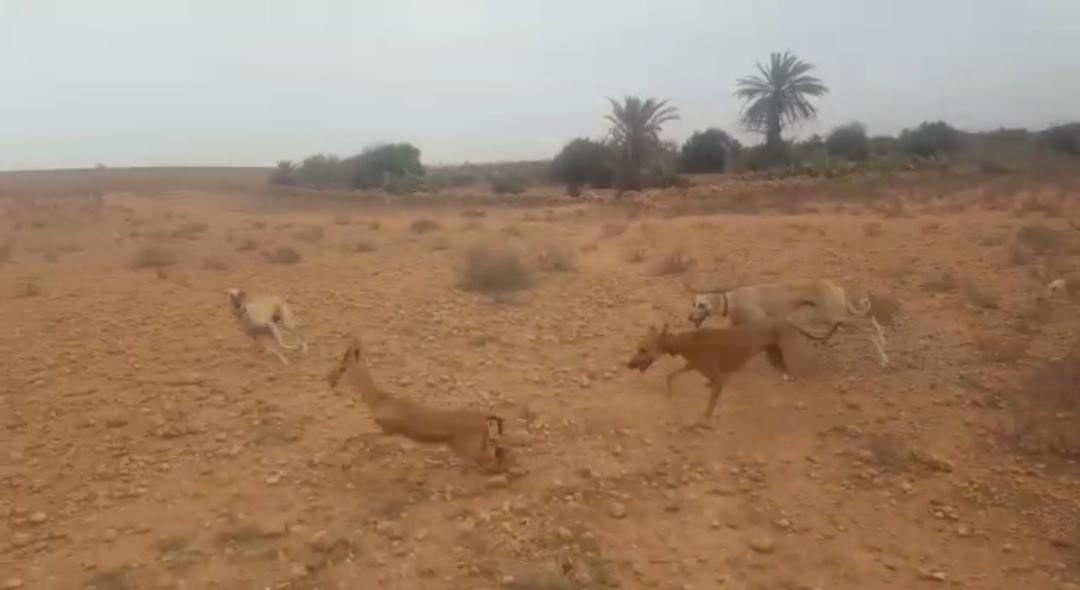 تيزنيت : شريط فيديو لعمية صيد غزالة يقود صاحبه الى الاعتقال